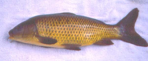 Peixes em bemposta mogadouro parque natural do douro for Carpa de rio